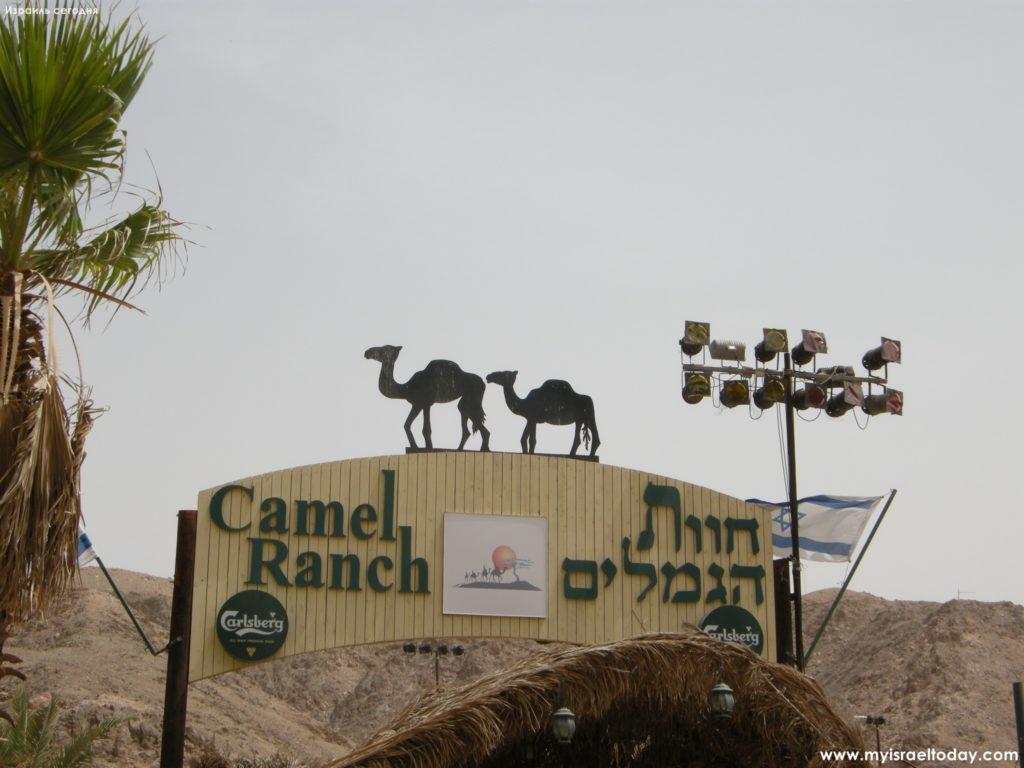 верблюжья ферма эйлат