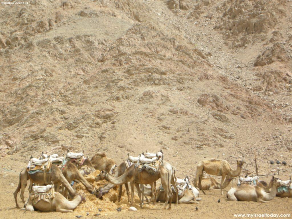 верблюды эйлат
