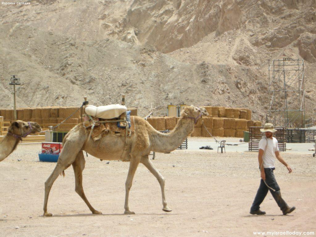 верблюжье ранчо в эйлате
