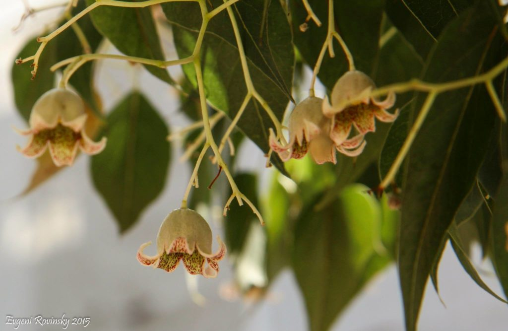 брахихитон цветение