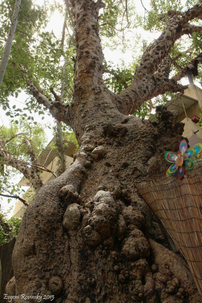 самое старое дерево тель-авив