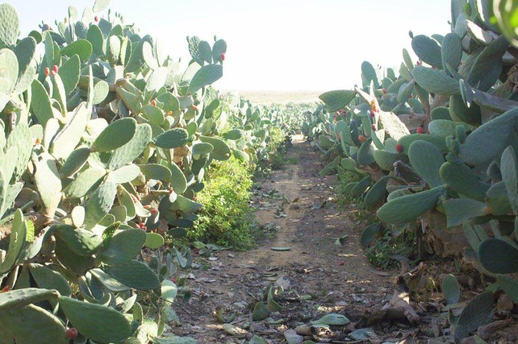 кактусовая ферма Орли