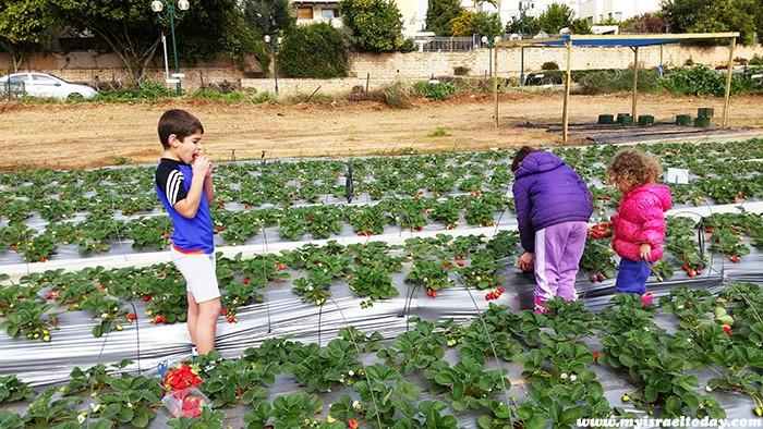 клубника в Израиле