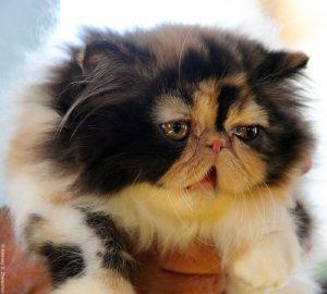 Выставка кошек в Израиле, персы