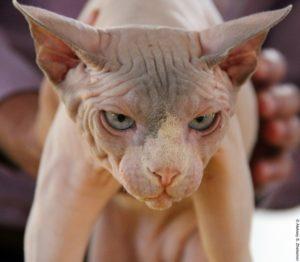 выставка кошек в Израиле, сфинкс