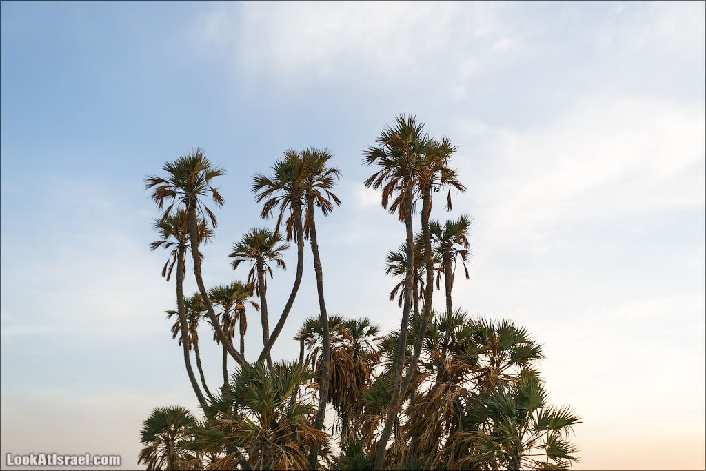 Чем заняться в Эйлате. Дум-пальмы